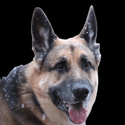 Headshot of Max, a German shepherd and very good boy.